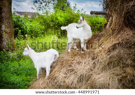 Two White Little Goats in Sunny Summertime - stock photo