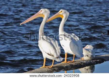 Two White Pelicans - stock photo