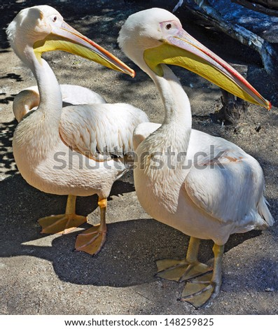 Two white pelicans in the zoo - stock photo