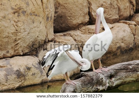 Two white pelicans preening on the rock - stock photo