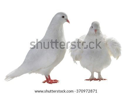 two white pigeon on a white background - stock photo