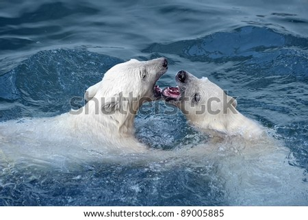 Two white polar bears play in water - stock photo
