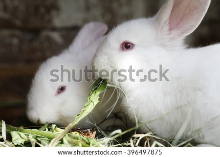 two white rabbit eating fresh grass river