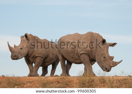 Two white rhino with blue sky behind them - stock photo