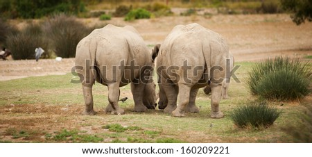 two white rhinoceros funny rear end shot - stock photo