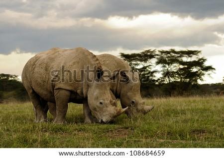 Two White Rhinos Grazing in the Savannah, Nakuru National Park, Kenya. - stock photo