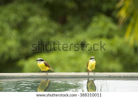 Two white ringed flycatchers rest at the edge of a pool in the tropical rain forest