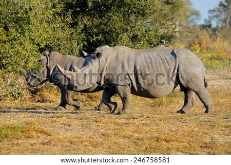 Two white (square-lipped) rhinoceros (Ceratotherium simum) in natural habitat, South Africa - stock photo