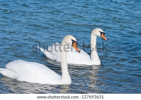 two white swans is floating on the water - stock photo
