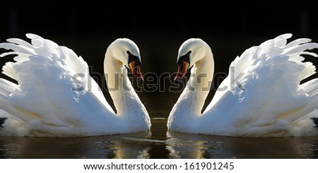 Two white swans on a lake - stock photo