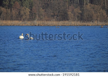 Two white swans swim in the lake in blue light