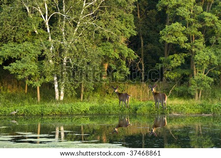 Two white tailed deer and and an egret standing in the edge of lake. - stock photo