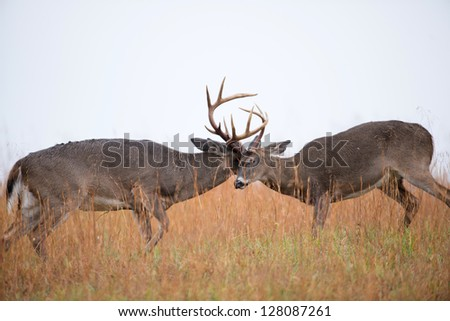 Two white-tailed deer bucks sparring in a frost covered open meadow - stock photo