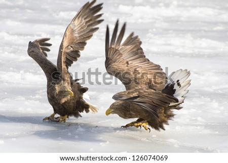 Two white-tailed eagles are arguing for the fish on ice
