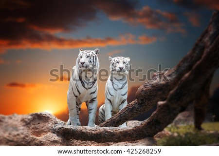 two white tiger sitting on a rock and watching the sunset - stock photo