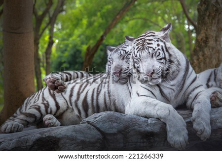 Two white tiger sleep on the rock at forest - stock photo