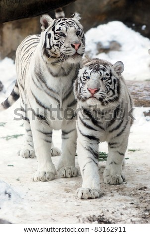 Two white tigers - stock photo
