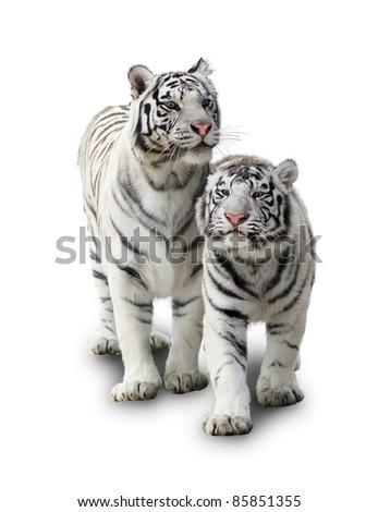 Two white tigers - stock photo
