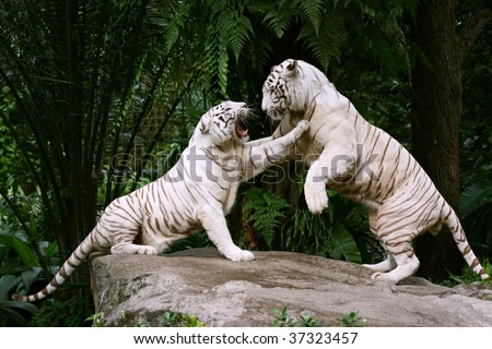 Two White Tigers In A Fight - stock photo