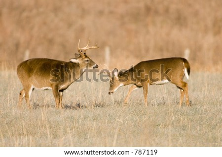 Two whitetail buck deer in a field - stock photo