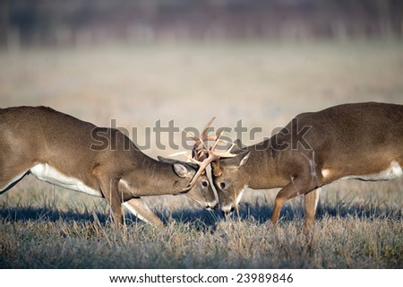 Two whitetail deer bucks lock antlers and battle in an open field during the fall rut - stock photo