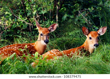 Two Whitetail Fawn Resting under Bush - stock photo
