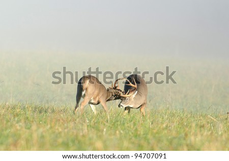 Two whitetailed deer bucks sparring in an open meadow - stock photo