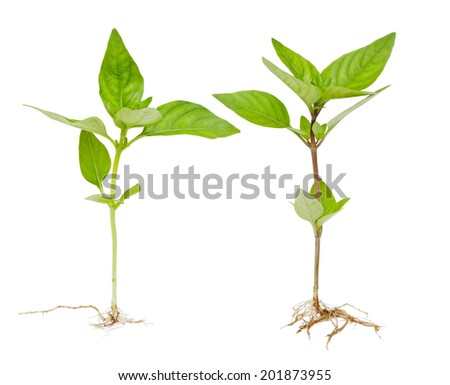 Two whole basil plants with root isolated on white background