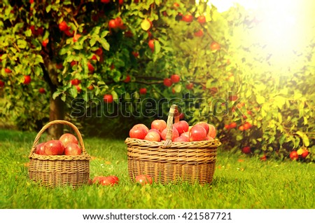 Two wicker basket full of red apples in foreground and apple trees in background at sunset stylized to fall theme