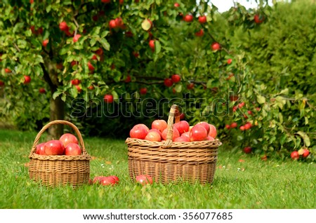 Two wicker baskets full of red apples on summer grass in foreground and apple trees in background - stock photo