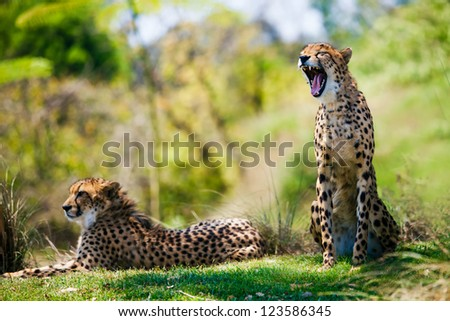 Two Wild african cheetahs relaxing in the grass - stock photo