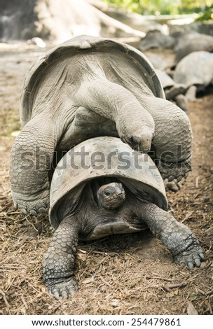 Two wild Aldabra giant tortoises of the Seychelles (Aldabrachelys gigantea or Geochelone gigantea) mating. La Digue, Seychelles - stock photo