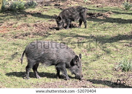 Two wild boar sniffing for roots - stock photo