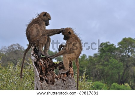 Two wild chacma baboons grooming in the Kruger Park, South Africa - stock photo