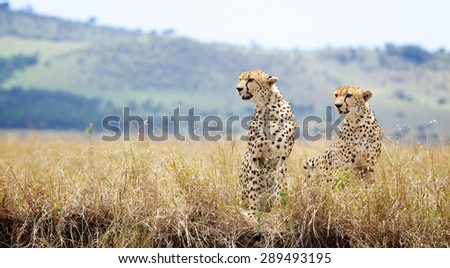 Two wild cheetahs  - stock photo