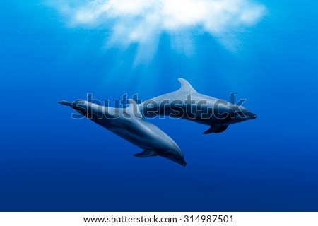 two wild dolphins playing in sunrays underwater in blue - stock photo
