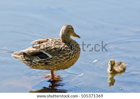 two wild duck on the lake - stock photo