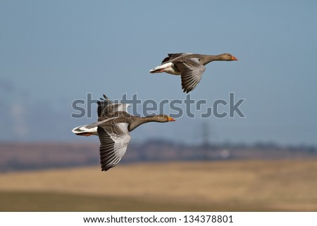 Two Wild Greylag Geese in Flight - stock photo