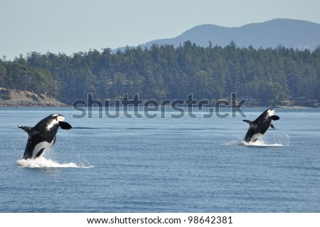 Two wild killer whales breach in synchrony. - stock photo