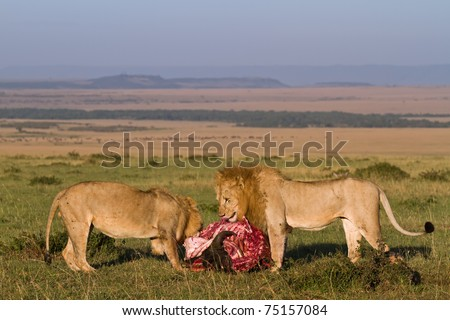 Two wild lion feeding at a kill in the morning light - keny masai mara - stock photo