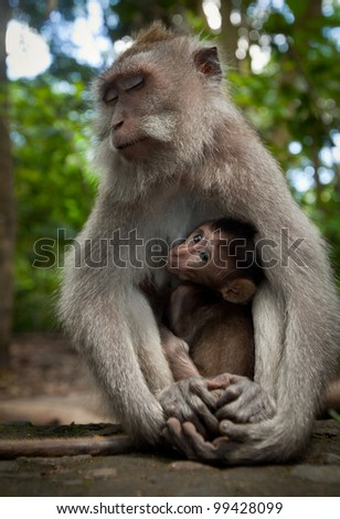 Two wild monkey in forest on Bali island - stock photo