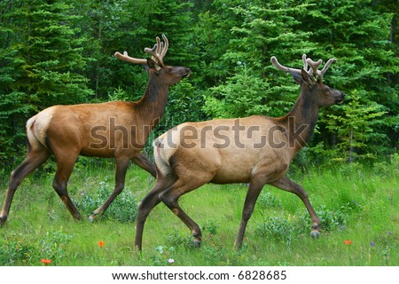 Two wild running deers - banff national park - stock photo