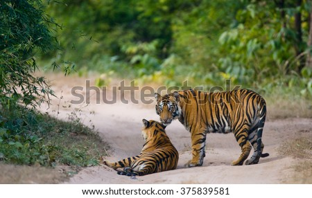 Two wild tiger on the road. India. Bandhavgarh National Park. Madhya Pradesh. An excellent illustration. - stock photo