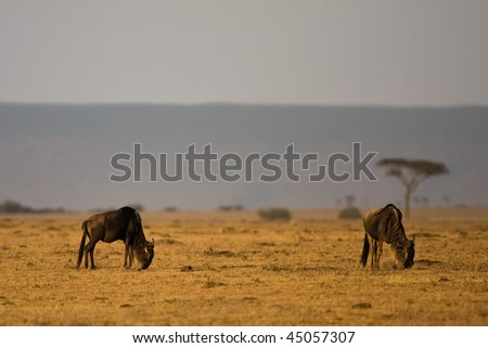 two wildebeest and one tree in the morning - stock photo