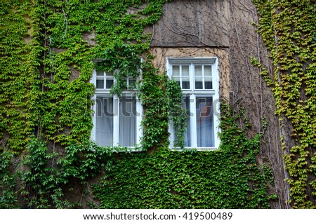 Two windows covered by green ivy leafs on the wall of old vintage british house - stock photo