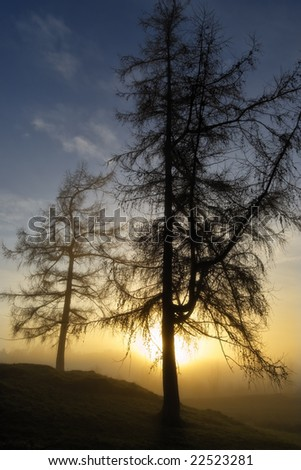Two Winter Larches Silhouetted against the setting sun