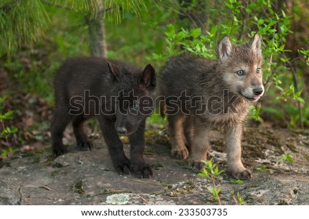 Two Wolf (Canis lupus) Pups Stand on Rock - captive animals - stock photo