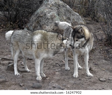 Two Wolf Friends - stock photo
