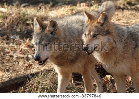 Two Wolves Closeup