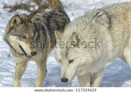 Two wolves from pack